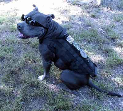 pitbull tactical harness